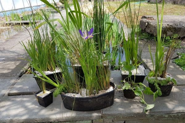 Using Aquatic Plastic Plant Baskets